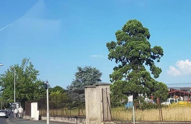 La photo du séquoia et de son voisin le cèdre du Liban sur le terrain sur lequel doit être construite la concession automobiles Volvo à Angers (Photo publiée sur Change.org par Christophe Abélard )