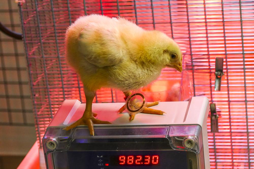 Un poussin connecté pour mieux gérer l'alimentation de la population avicole