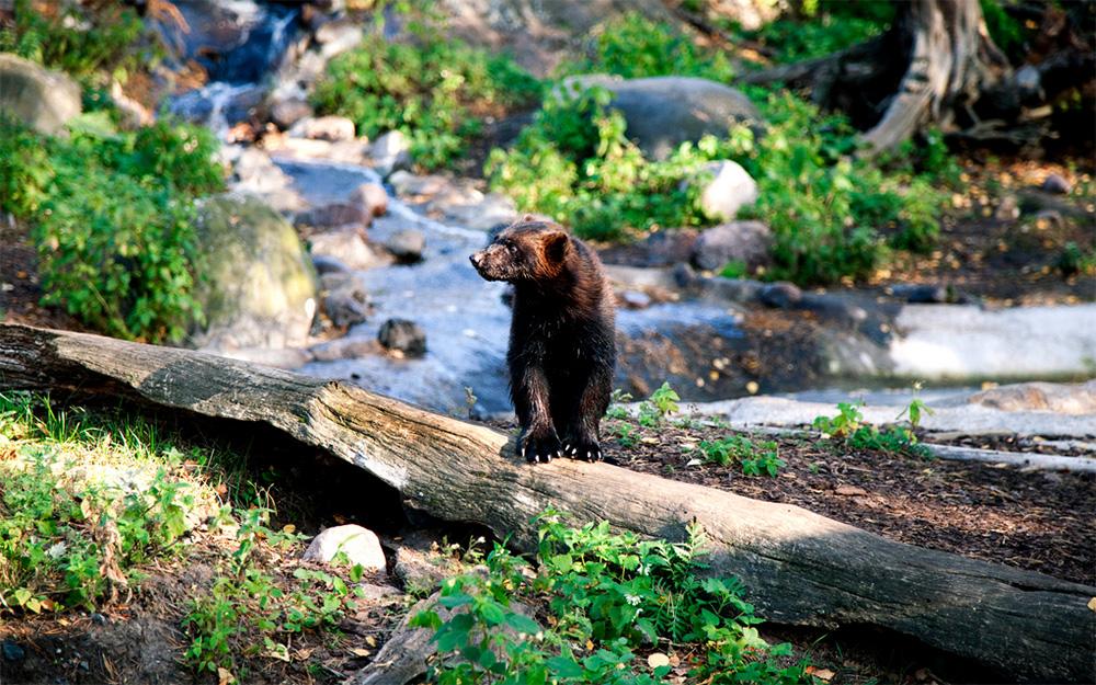 Un ours du zoo d'Helsinki, sur l'ile de Korkeasaari (Photo archive Zoo Helsinki)