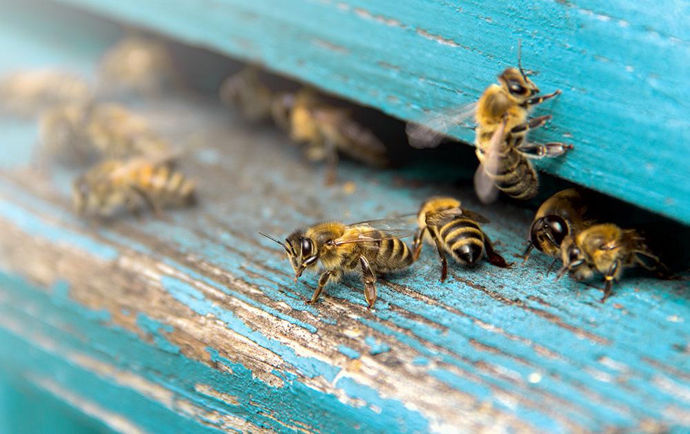 La bonne santé des abeilles est un indicateur de l'état de la biodiversité (Photo Adobe Stock)