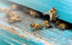 Avec BeeGuard les abeilles deviennent des capteurs naturels de données environnementales